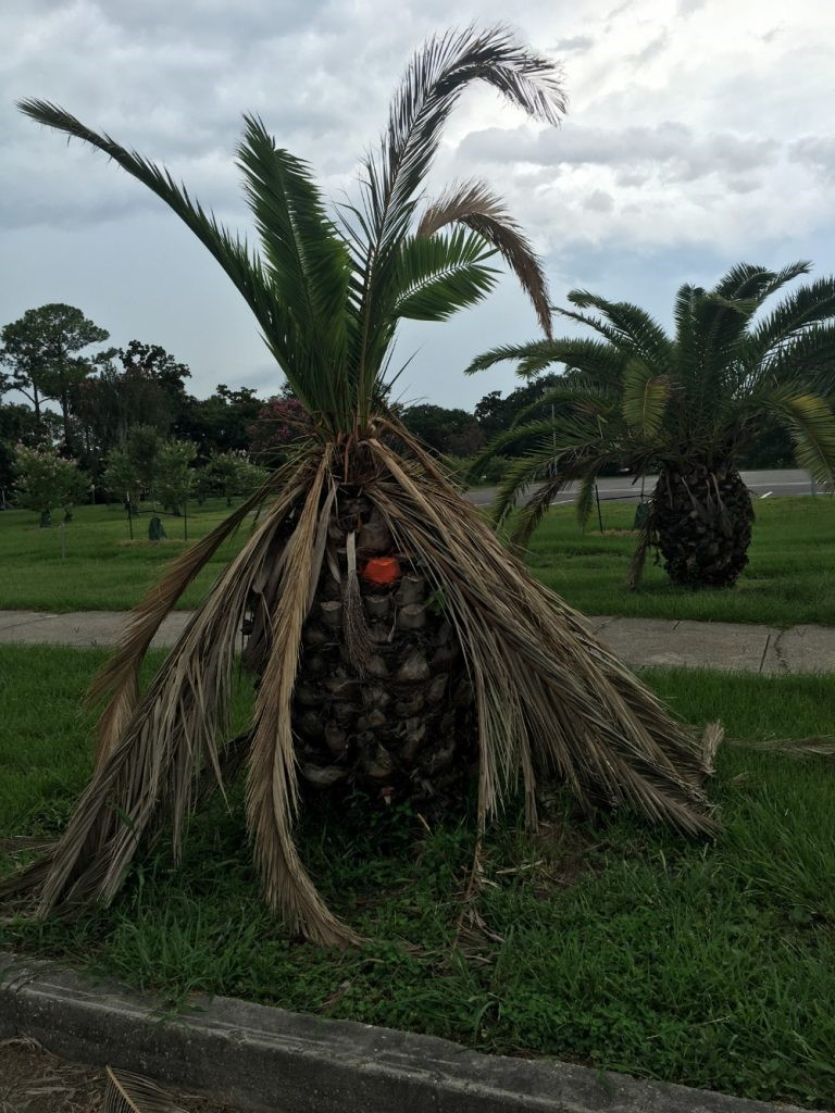 Damaged Palm Tree