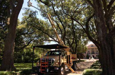 Live Oak Pruning