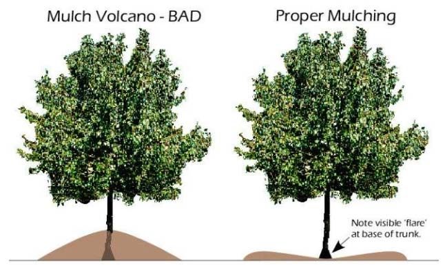 Volcano mulching vs proper mulching